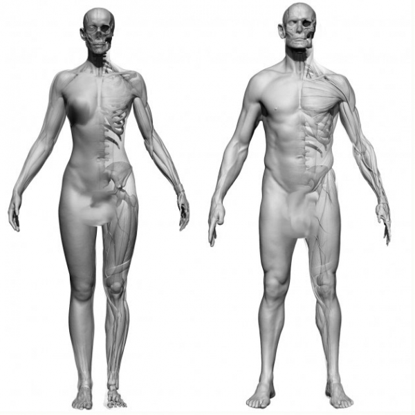 مدل بدون پوست زن و مرد 3D Scan Store - Female and Male Ecorche Bundle